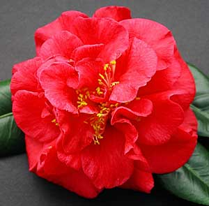 Camellia Japonica 'Dixie Knight'  -  click for info